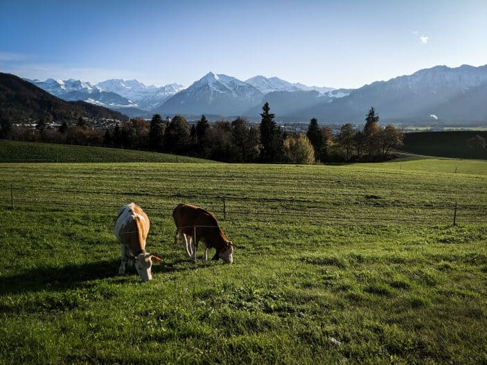 1 Week in Switzerland - green fields with cows and mountains