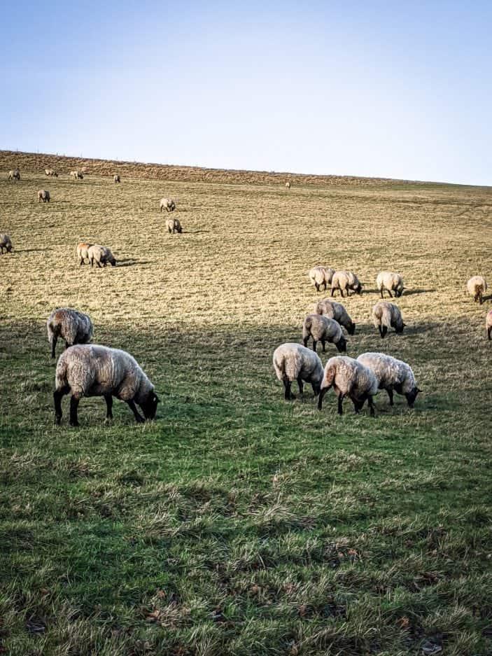 Sheep, England